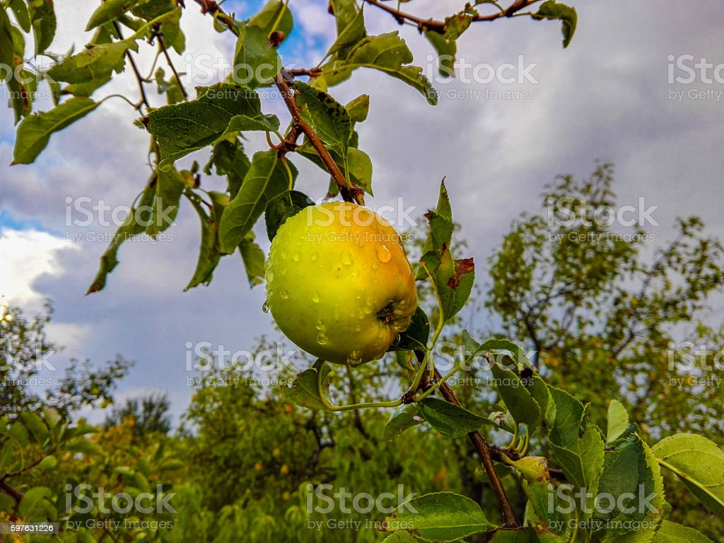 apple tree and an apple stock photo