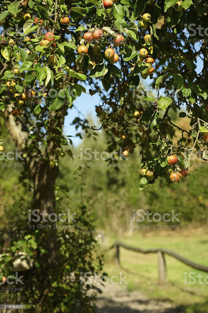 Apple tree besides a paddock stock photo