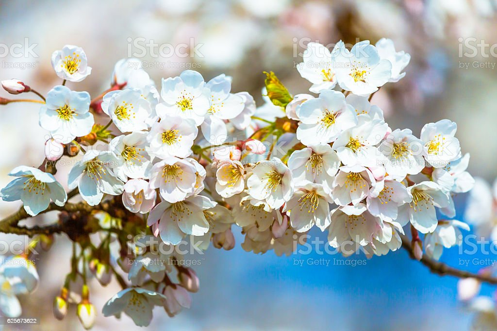 Apple Tree Blooming stock photo