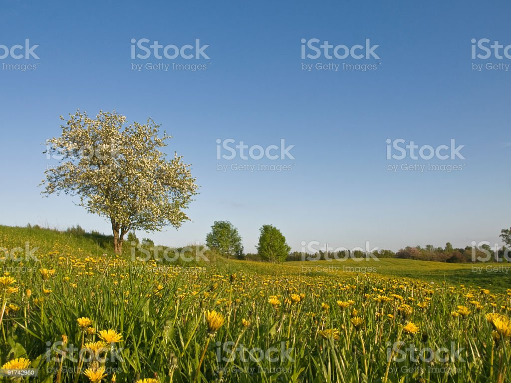 apple tree blooming royalty-free stock photo