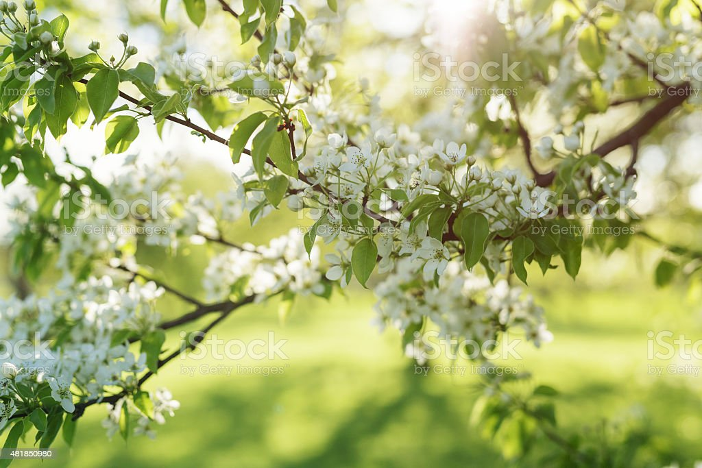 apple tree blossom flowers in sunny day stock photo