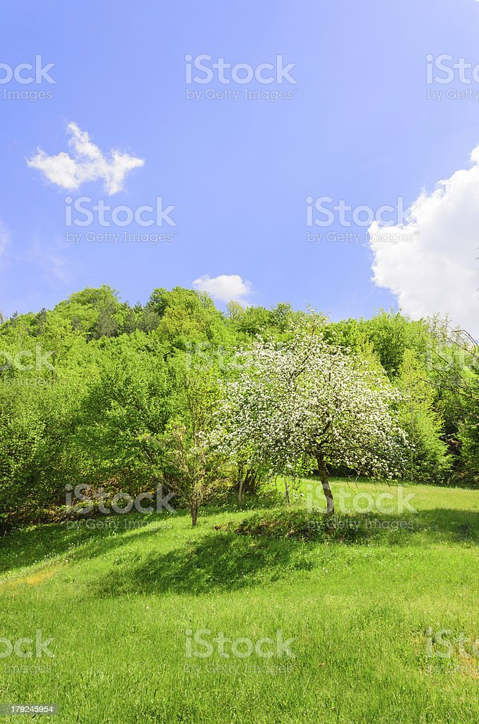 Apple tree blossom on a beautiful green grass meadow royalty-free stock photo