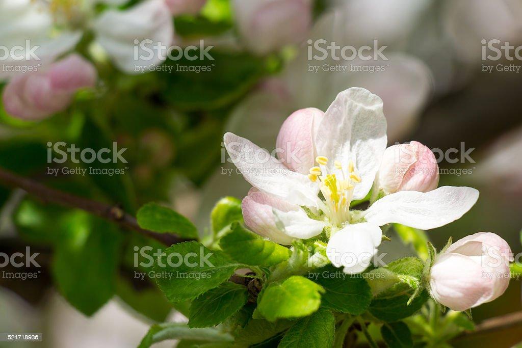 apple tree Blossom stock photo