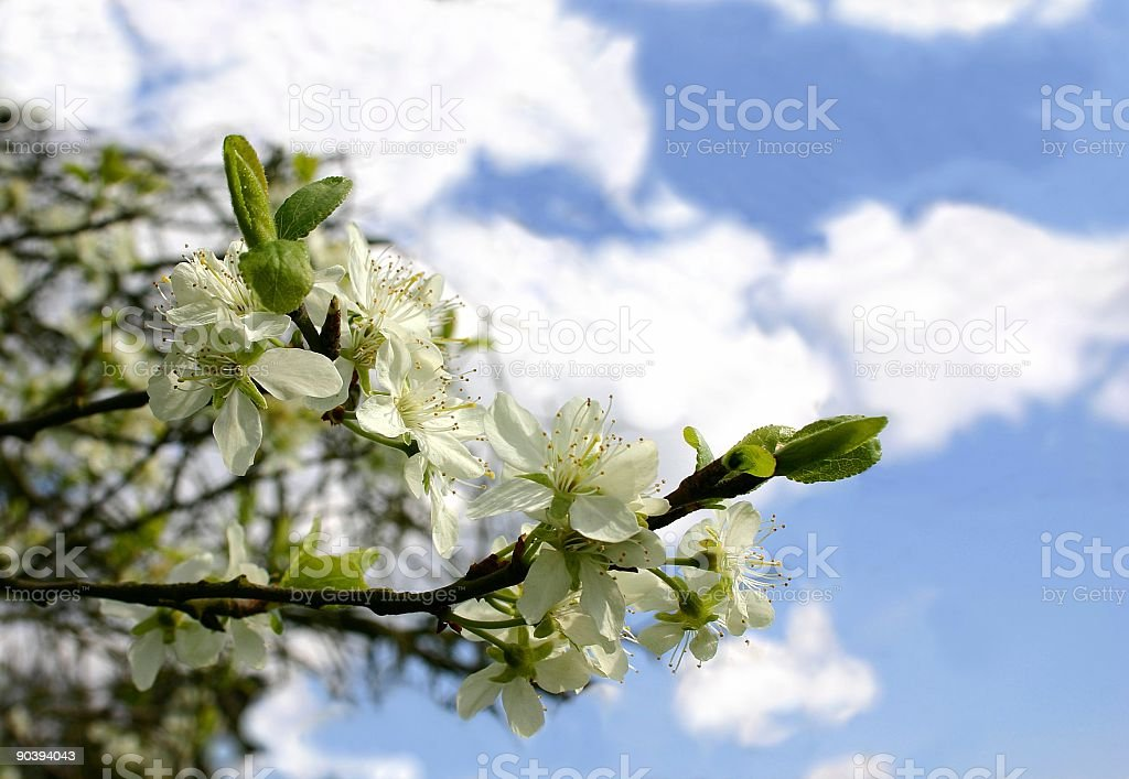 apple tree blossom : reaching for the spring sky royalty-free stock photo