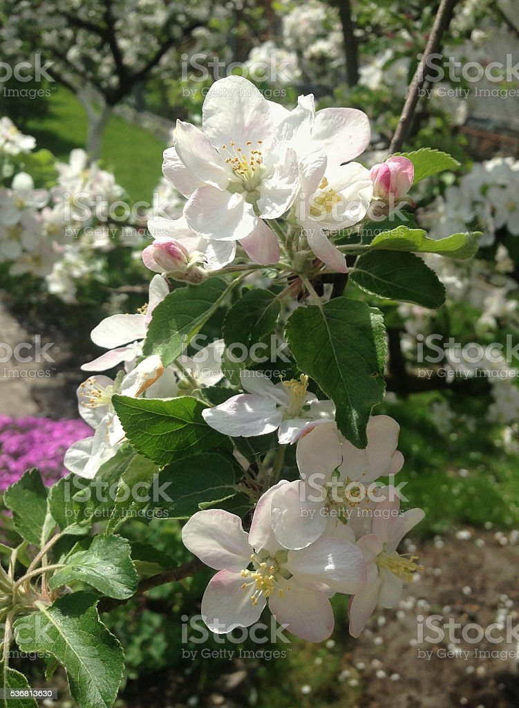 apple tree blossoms in the garden stock photo
