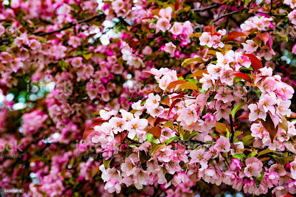 apple tree blossoms royalty-free stock photo