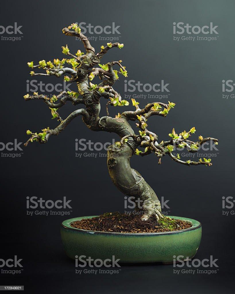 Apple tree bonsai royalty-free stock photo