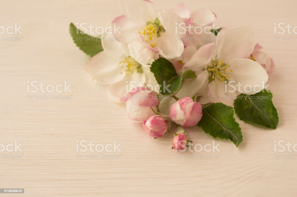 Apple tree branch in bloom with copy space for text. stock photo