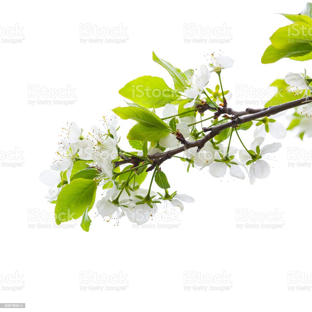 Apple tree branch with flowers isolated on white stock photo