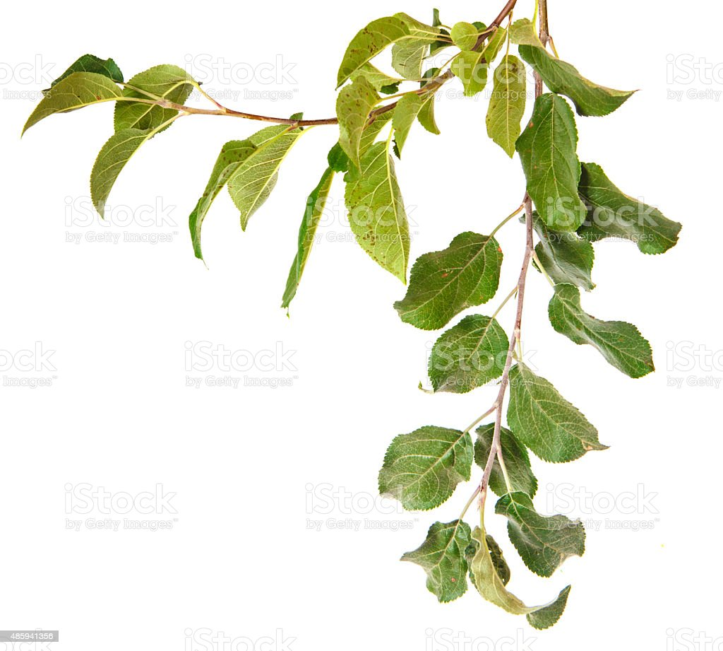apple tree branch with leaves stock photo