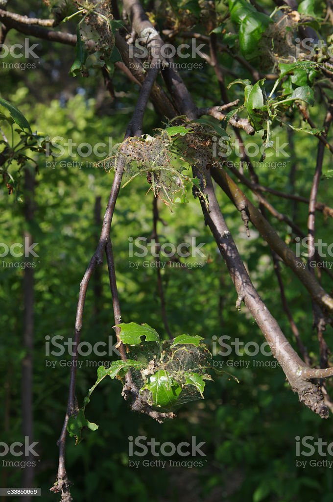 Apple tree branches eaten by Gypsy moth (Lymantria dispar) caterpillars stock photo