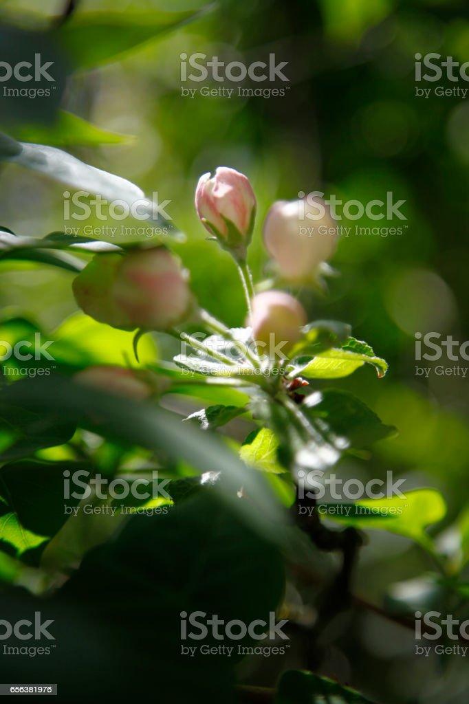 Apple tree flower buds stock photo