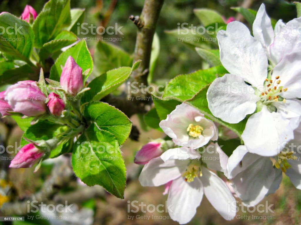 Apple Tree Flower Close up stock photo