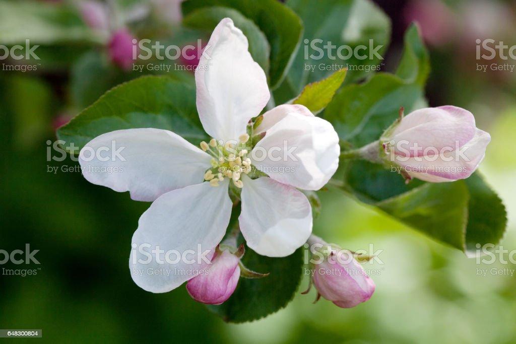 apple tree flower stock photo