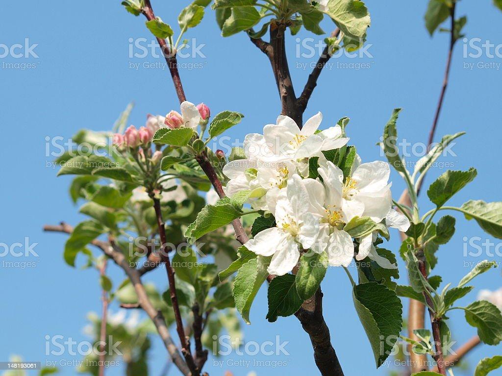 Apple дерево цветы Стоковые фото Стоковая фотография