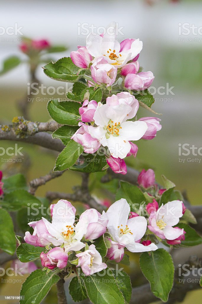 Apple tree flowers royalty-free stock photo