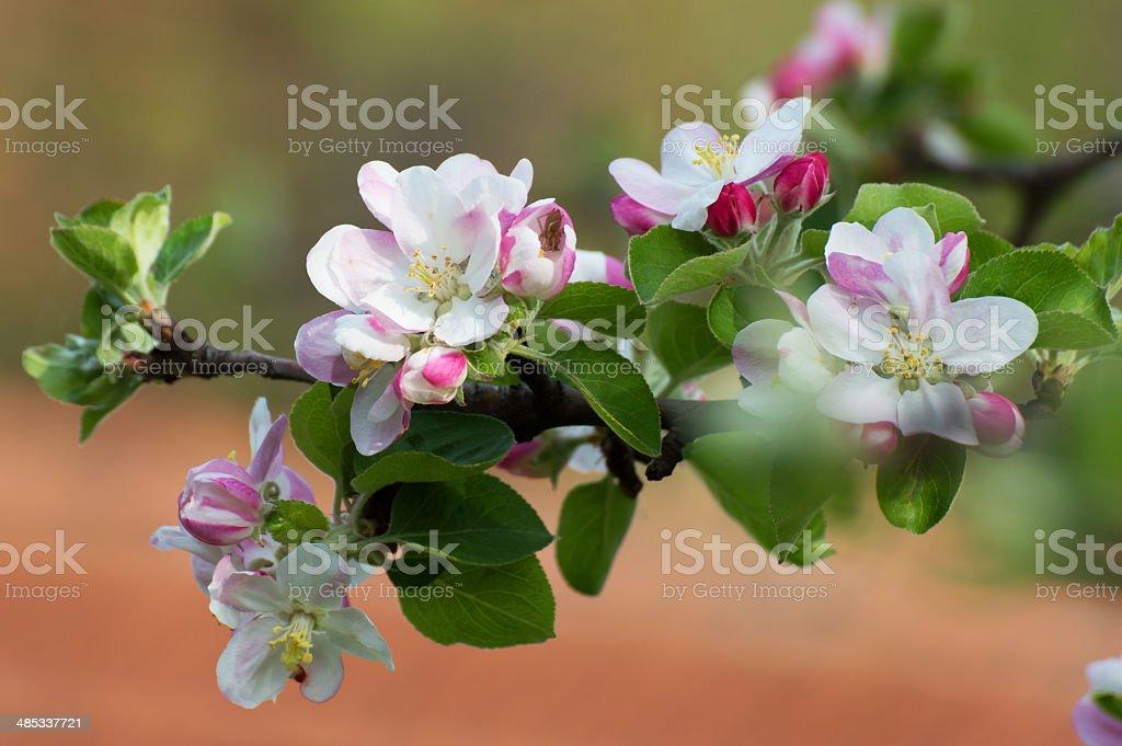 リンゴの木の花 ロイヤリティフリーストックフォト