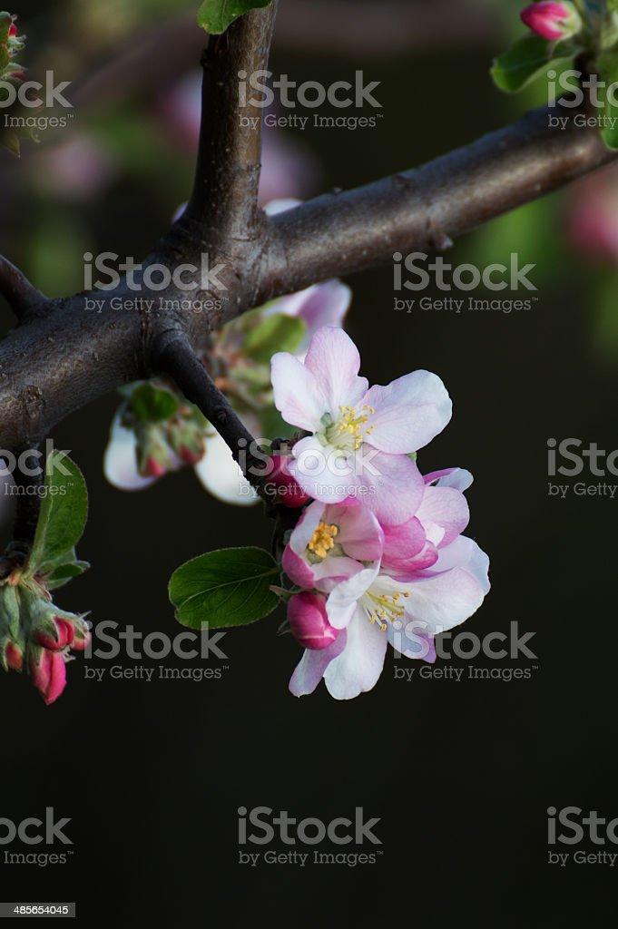 アップルツリー flowers3 ロイヤリティフリーストックフォト