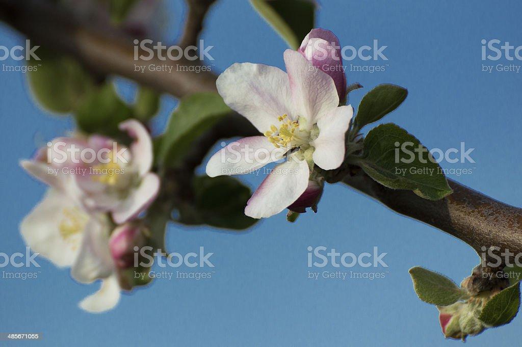 アップルツリー flowers4 ロイヤリティフリーストックフォト
