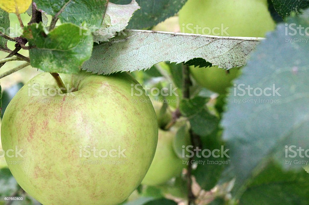 apple tree from above stock photo