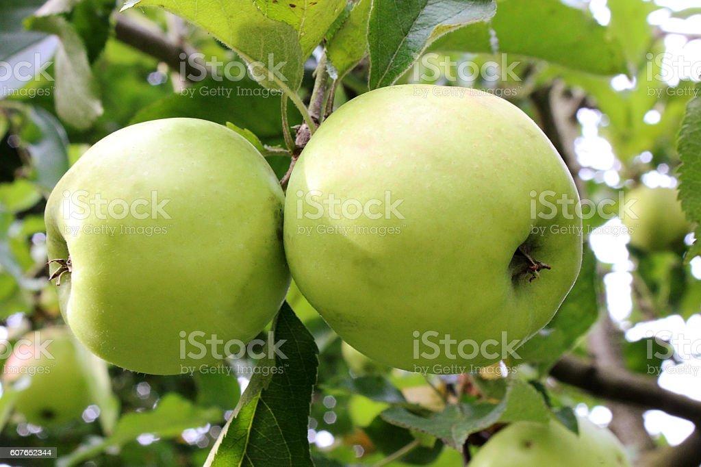 Apple Tree fruits stock photo