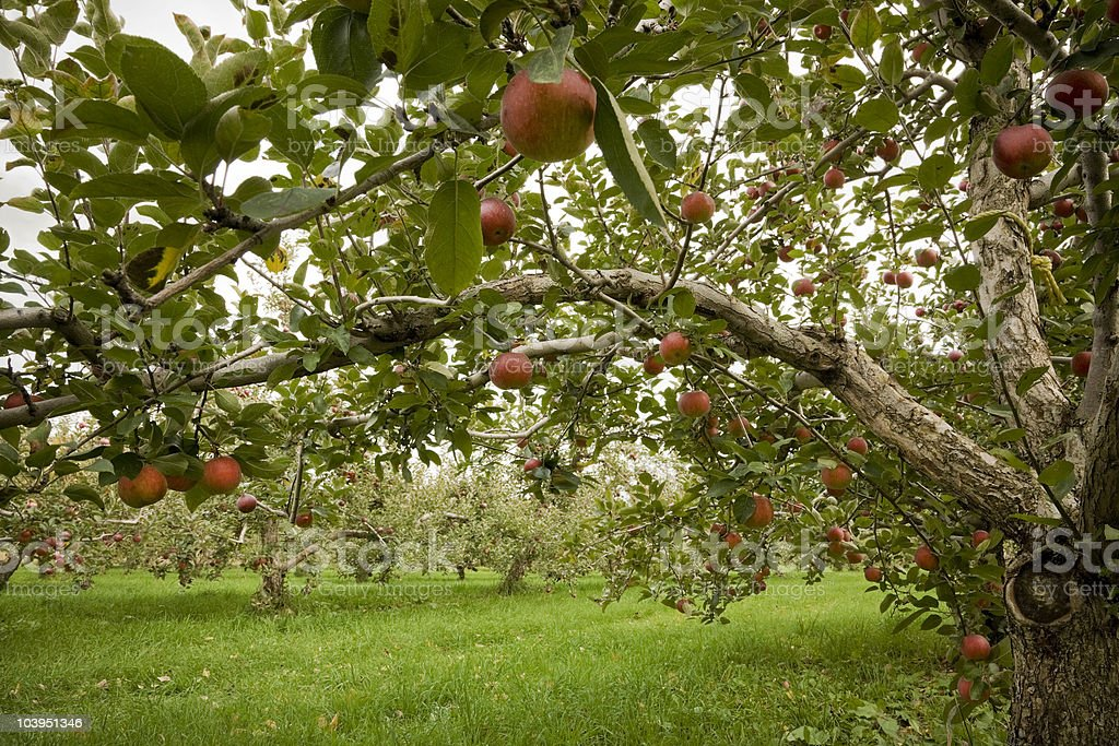 Apple tree in an orchard stock photo