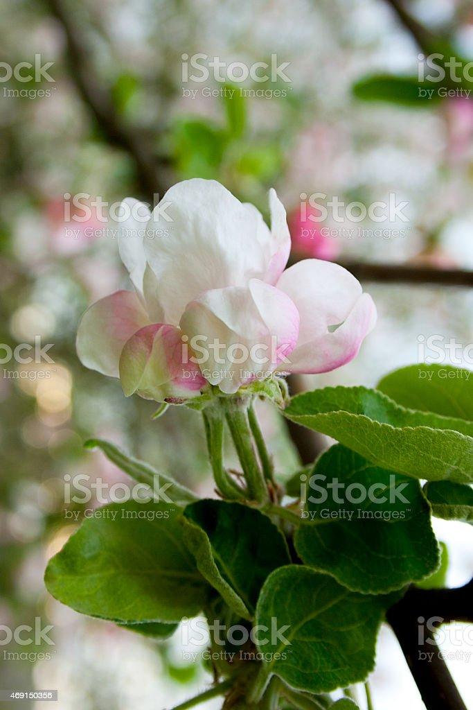 Manzano en flor de primavera foto de stock libre de derechos