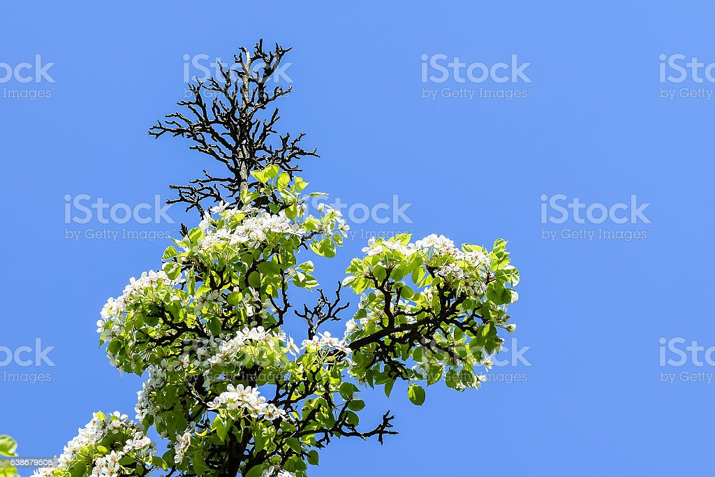 Apple tree in bloom stock photo