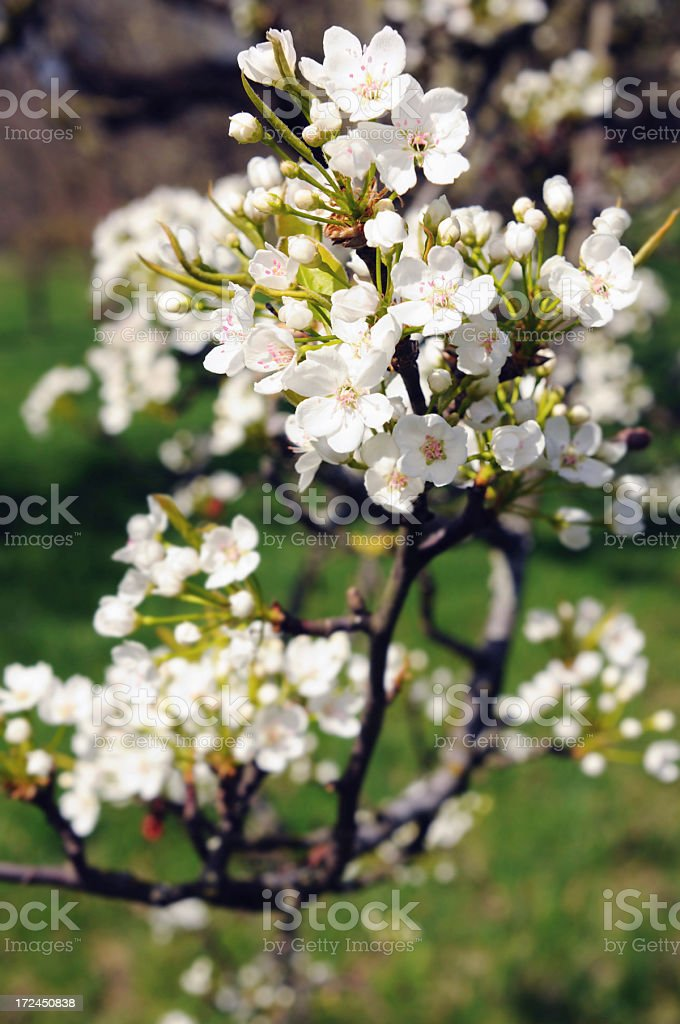 Apple tree in blossom royalty-free stock photo