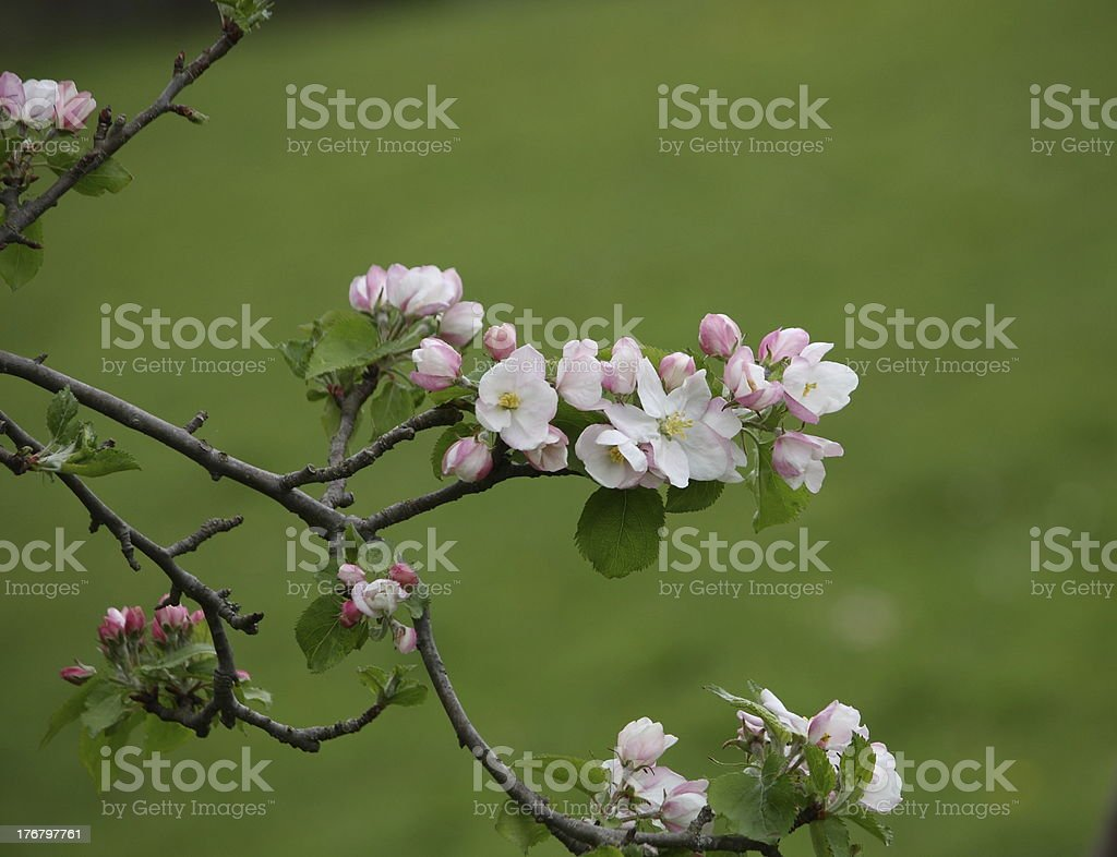 Apple tree in flower royalty-free stock photo