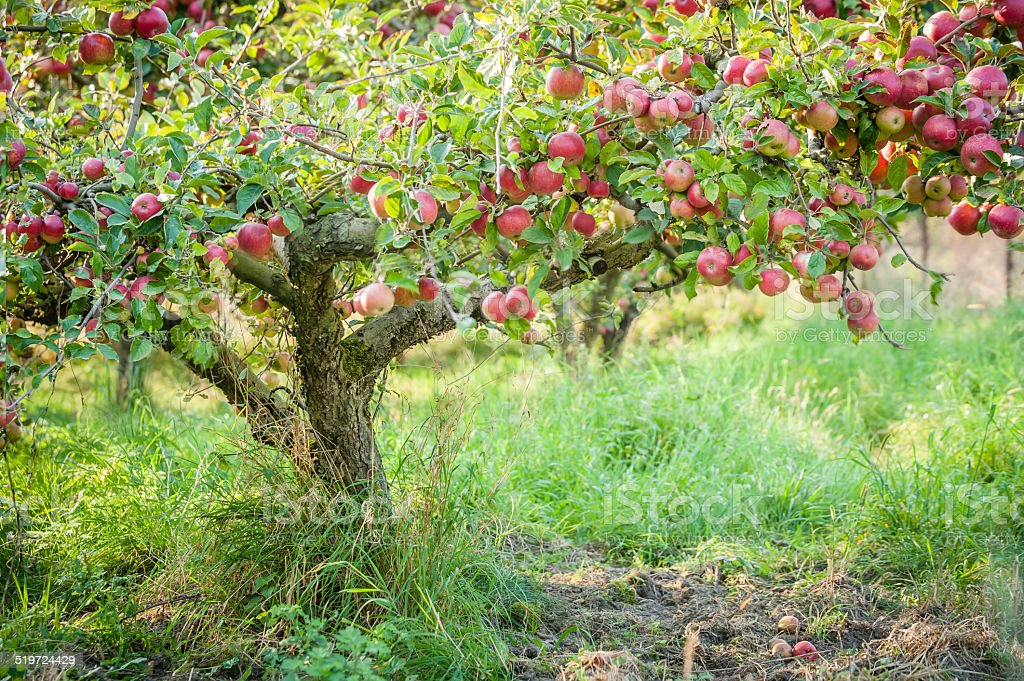 Apple tree in old apple orchard horizontal. stock photo
