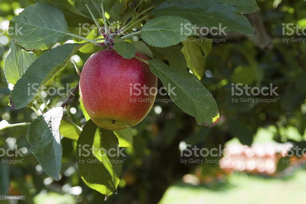 Apple Tree in Orchard royalty-free stock photo