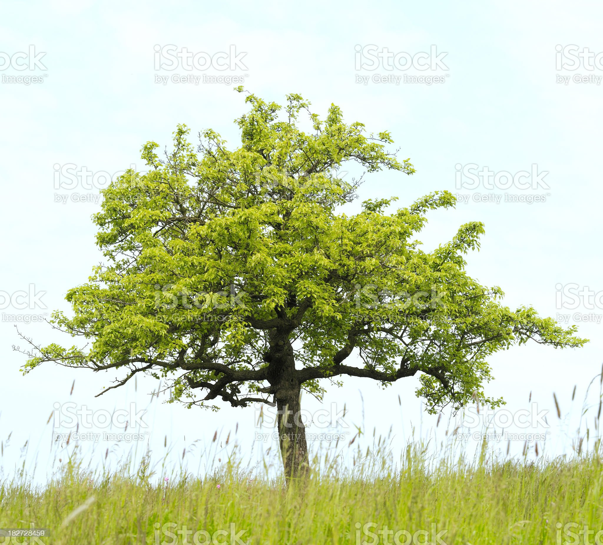 Apple tree in spring on meadow (Malus domestica). royalty-free stock photo