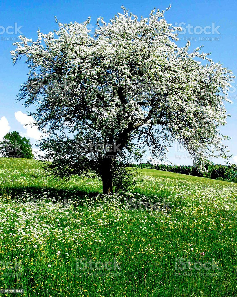 Apple tree in spring with white blossoms royalty-free stock photo