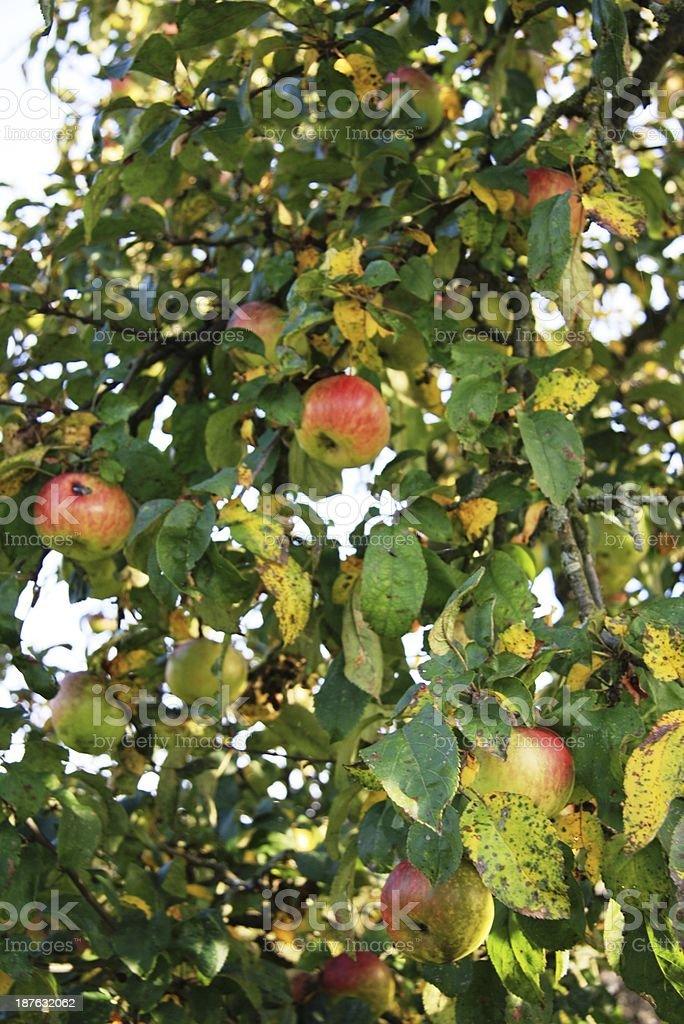 Apple tree in the autumn sun stock photo