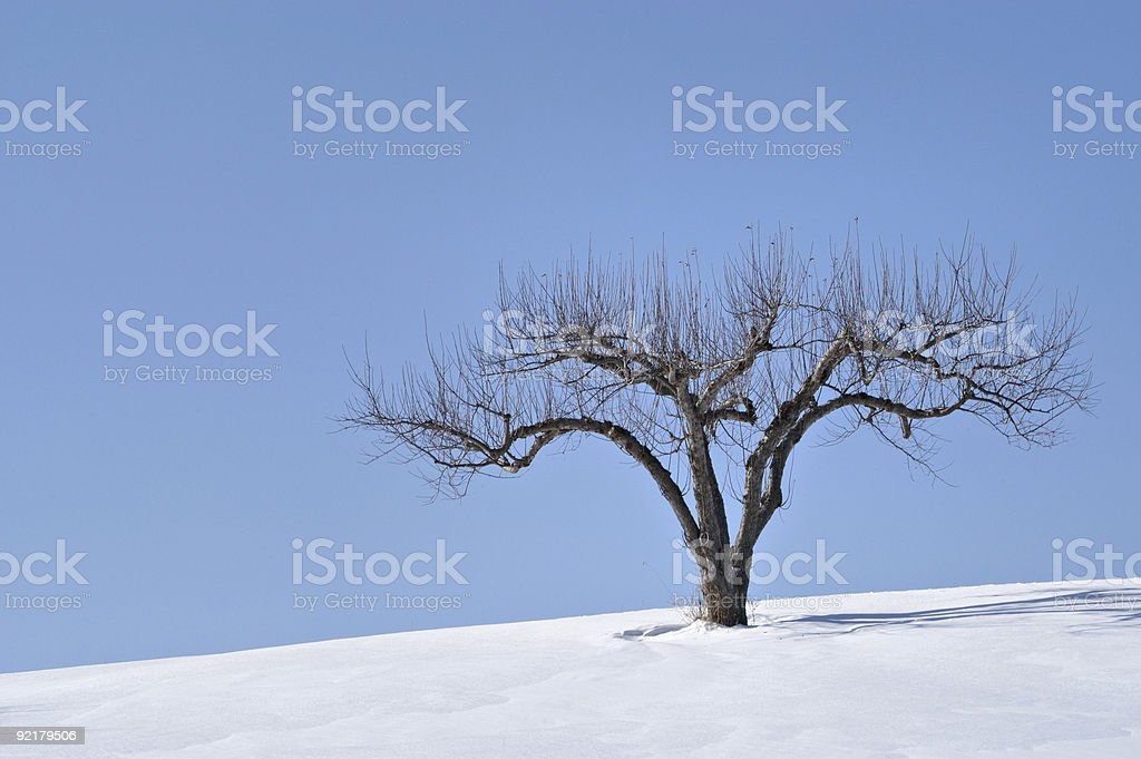 Apple tree in winter royalty-free stock photo