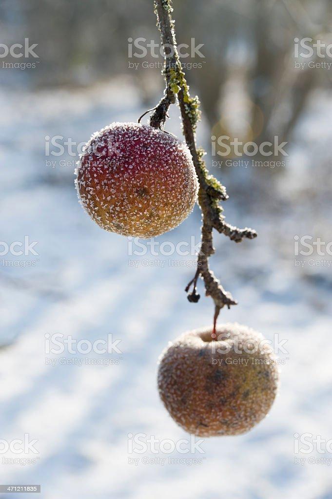 Apple tree in wintertime royalty-free stock photo