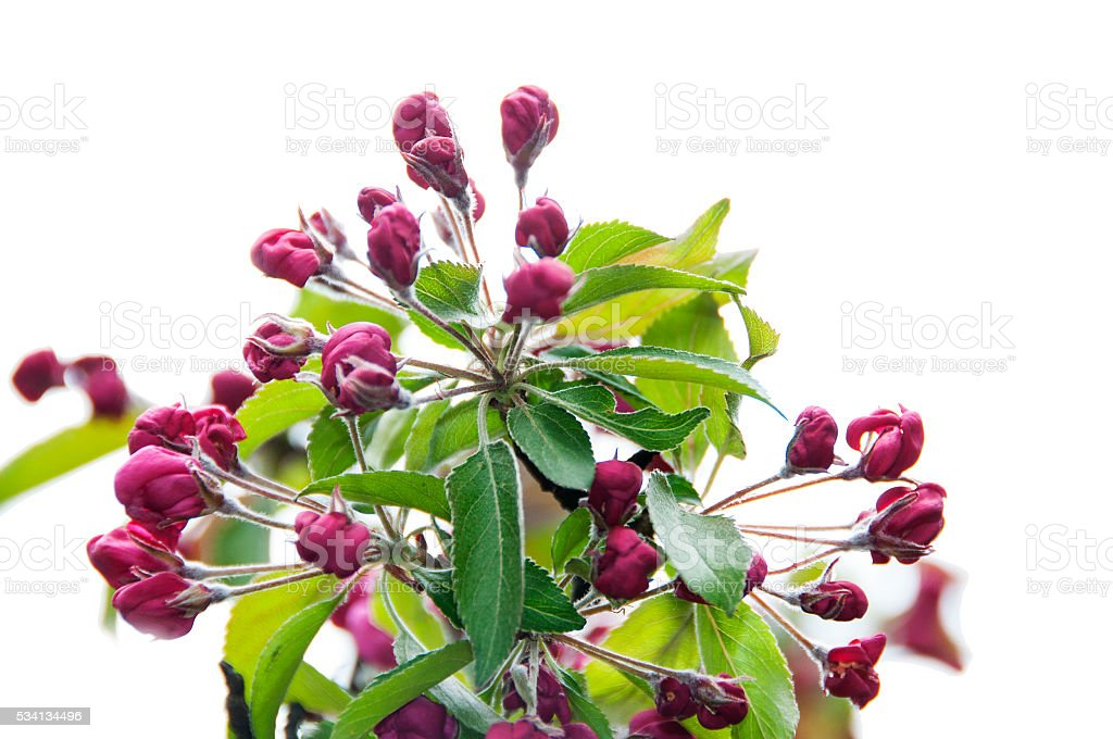 apple tree, Malus baccata, pink buds at white stock photo