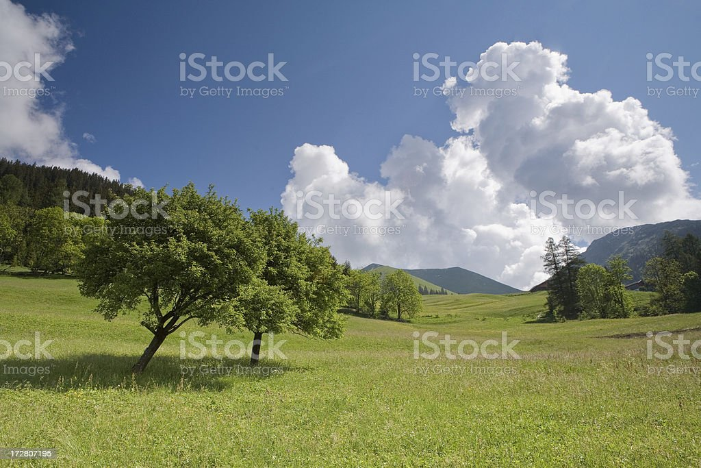apple tree on meadow royalty-free stock photo