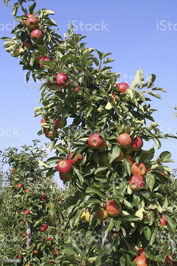 Apple tree - orchard # 50 royalty-free stock photo