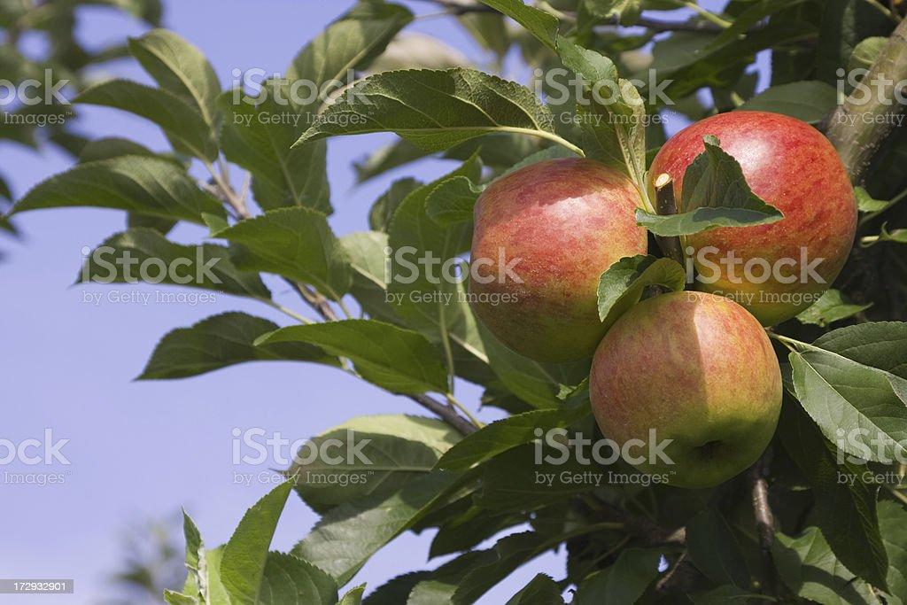Apple tree - orchard # 39 XL royalty-free stock photo