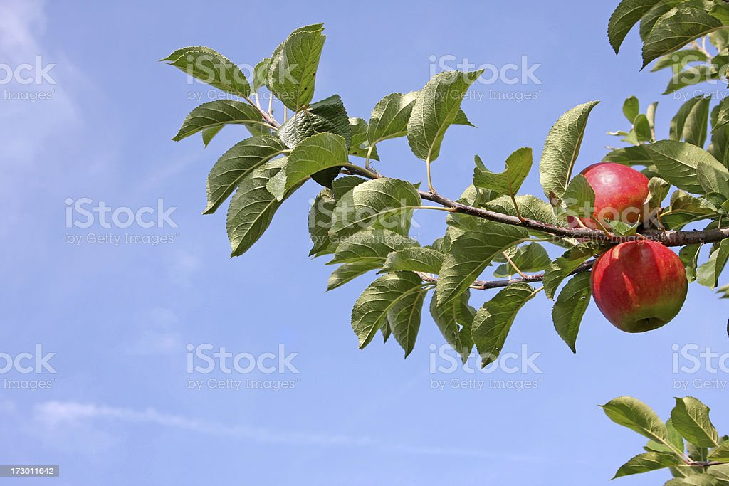 Apple tree - orchard # 34 XL royalty-free stock photo