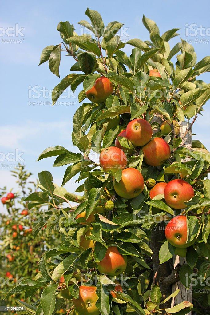 Apple tree - orchard # 20 XL royalty-free stock photo