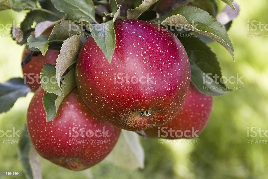 Apple tree orchards # 53 royalty-free stock photo
