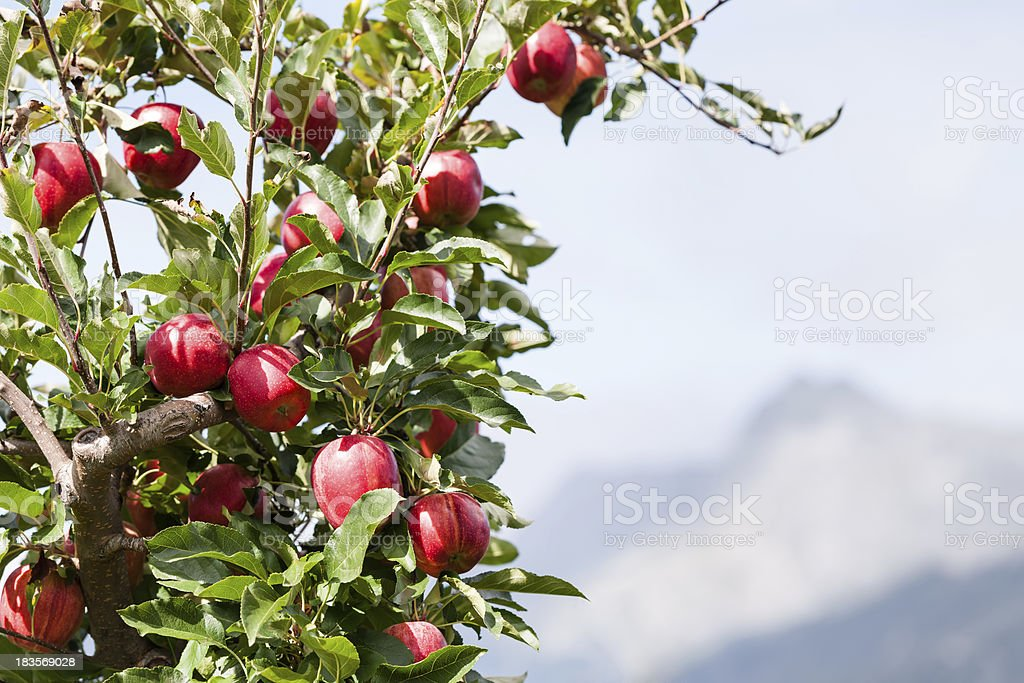 Apple tree over mountain landscape royalty-free stock photo
