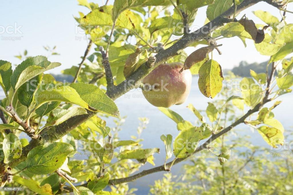 Apple Tree. stock photo