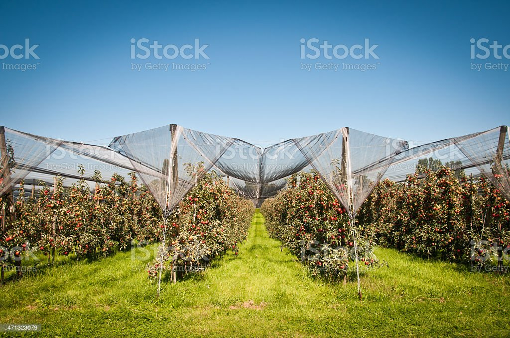 Apple tree plantation in Thurgau, Switzerland stock photo