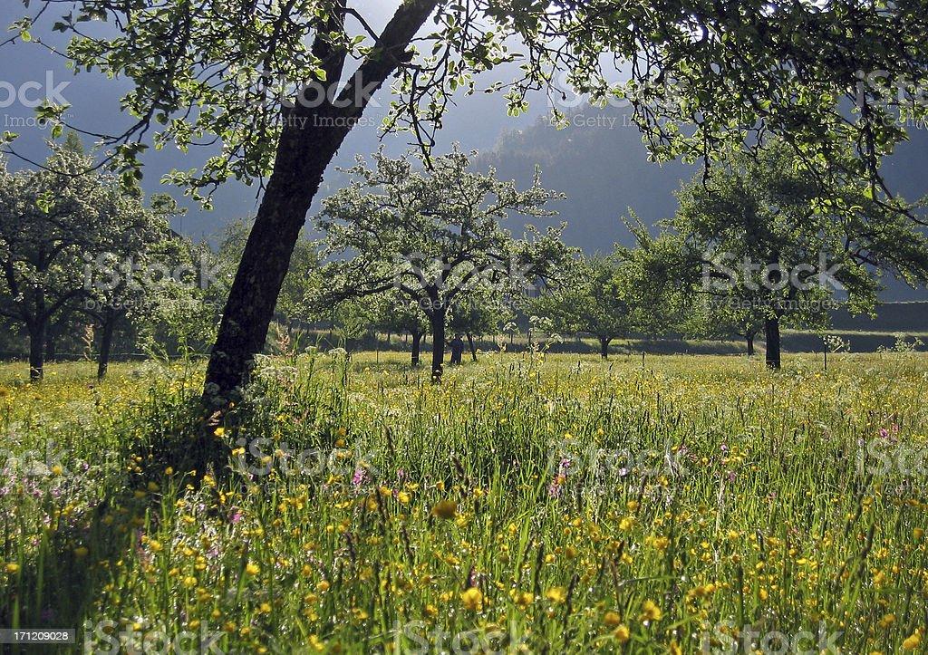 apple tree plantation royalty-free stock photo