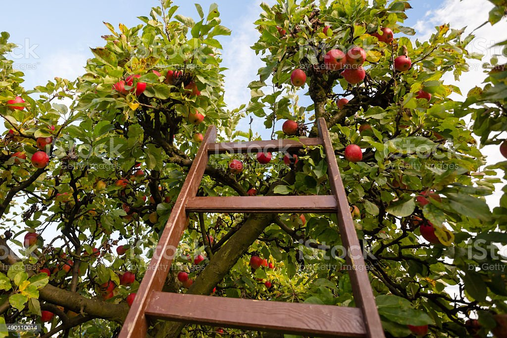 Apple Tree with a Ladder stock photo