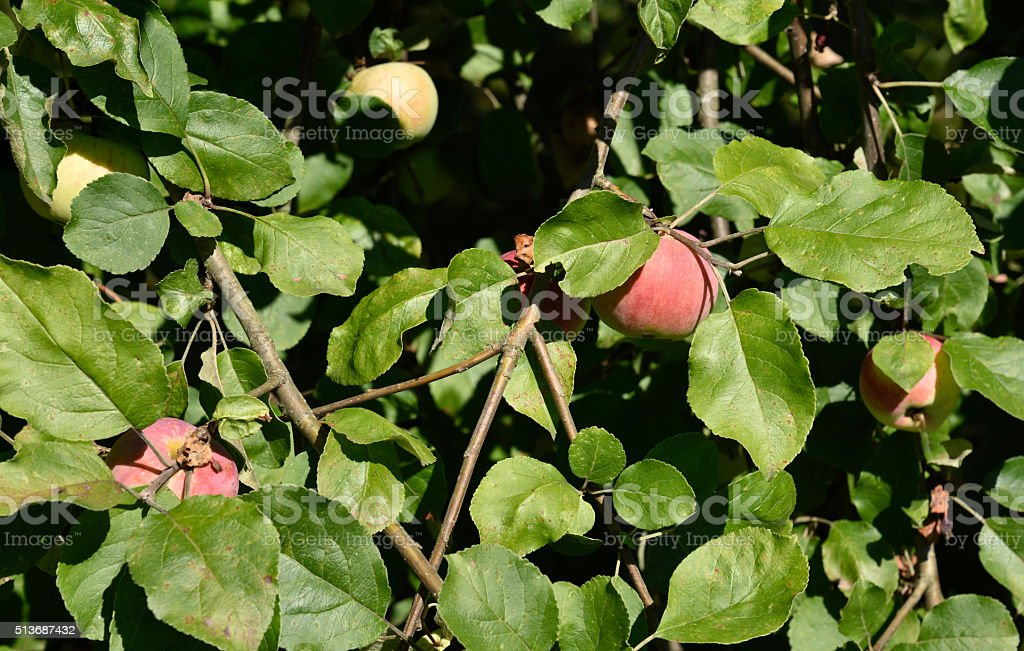 apple tree with rust fungus stock photo